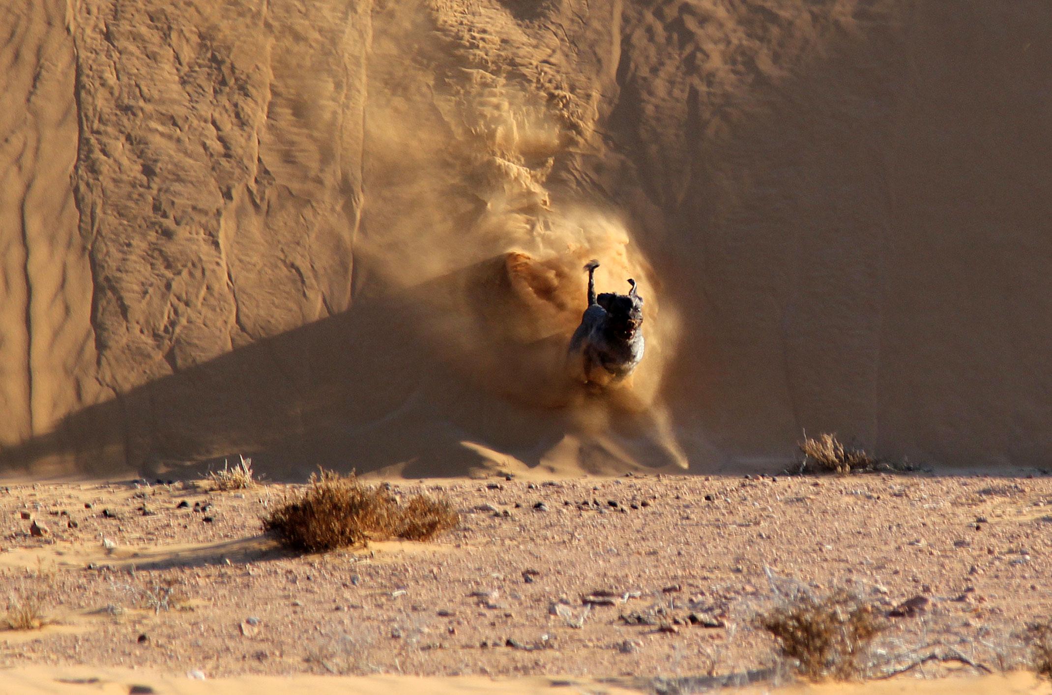 Pies na pustyni.Sahara Zachodnia.Jasiek pies pustyni