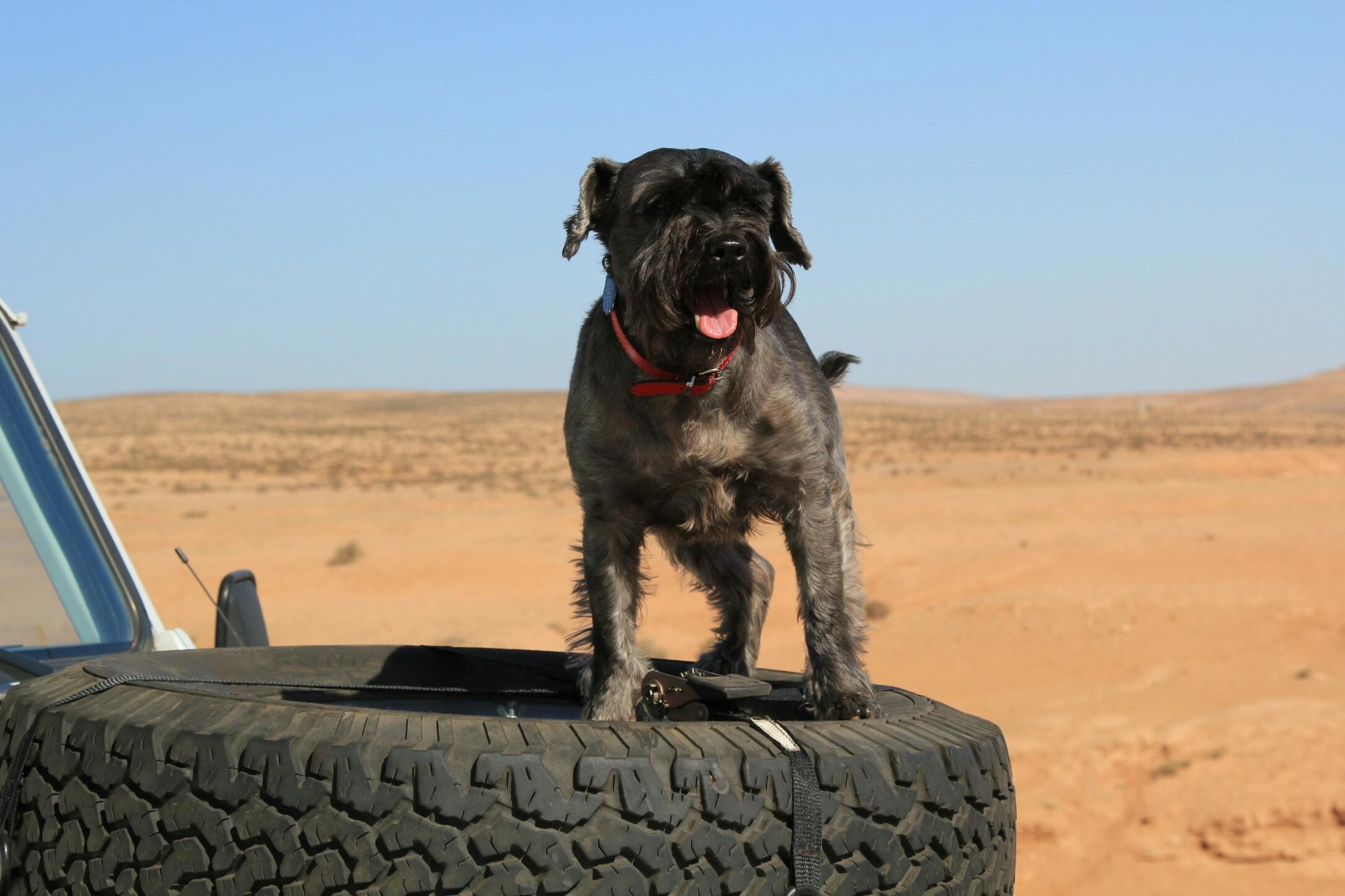 Pies sznaucer miniaturowy