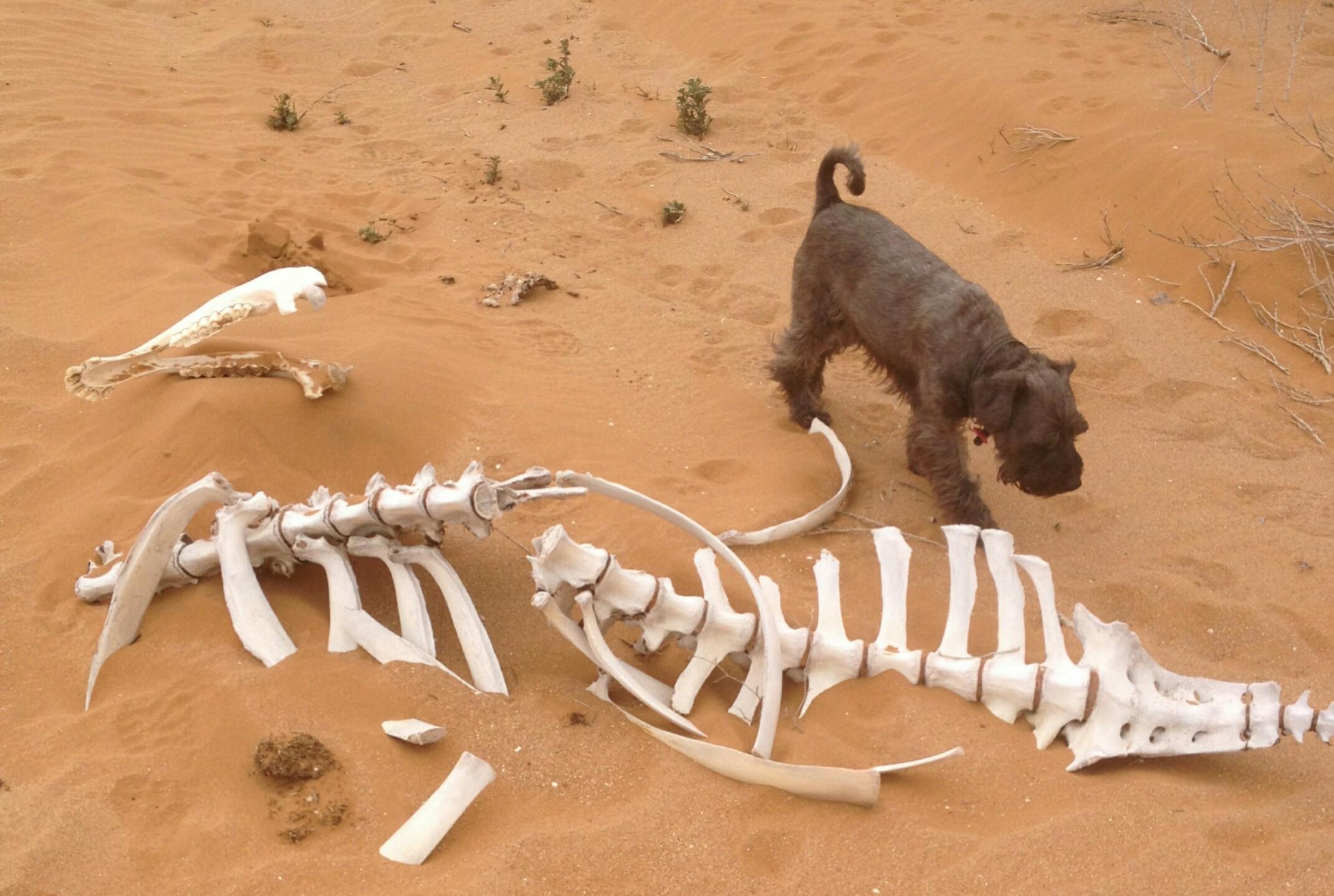Szkielet wielbłąda.