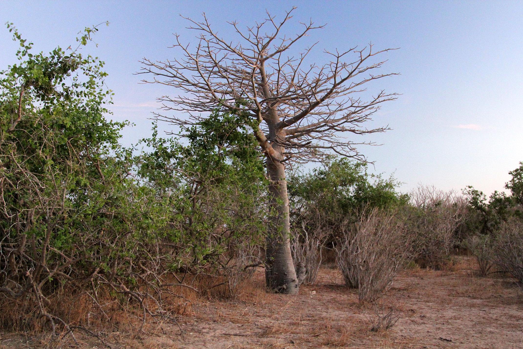 Mauretania.Baobab