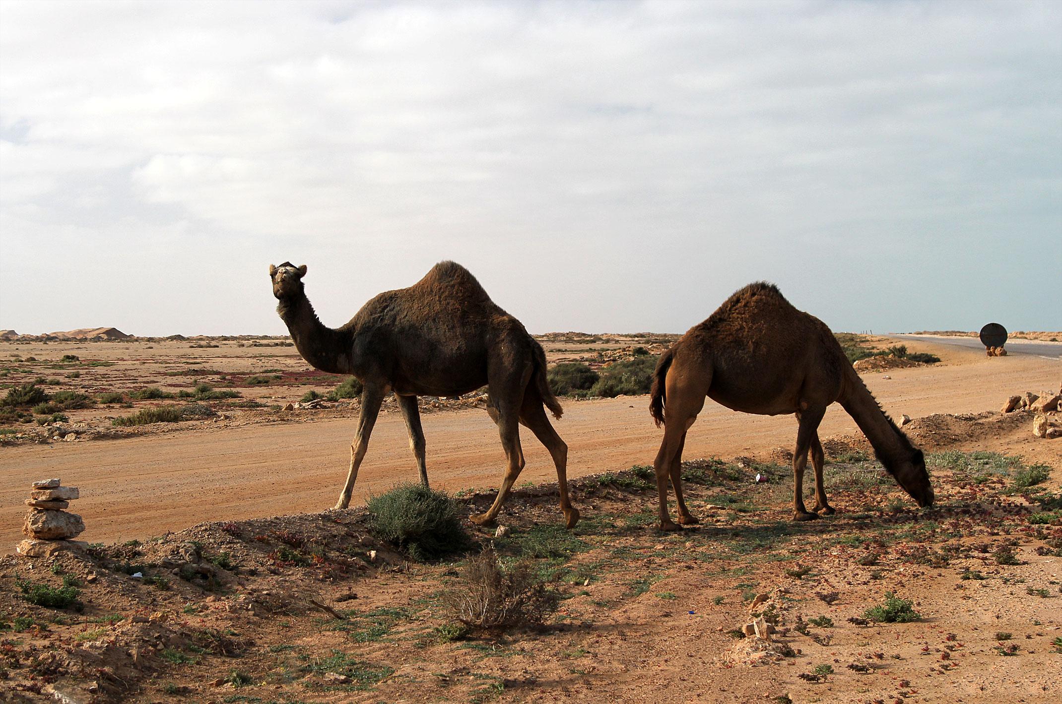 Maroko.Wielbłądy wchodzące na drogę