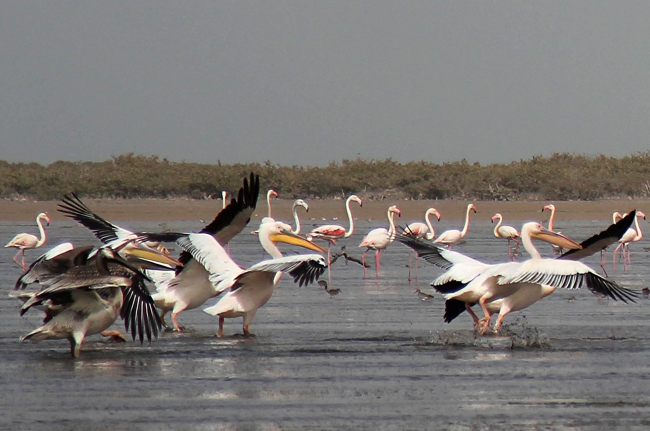 Mauretania.Park Narodowy Banc d'Arguin.Skupisko pelikanów i flamingów.