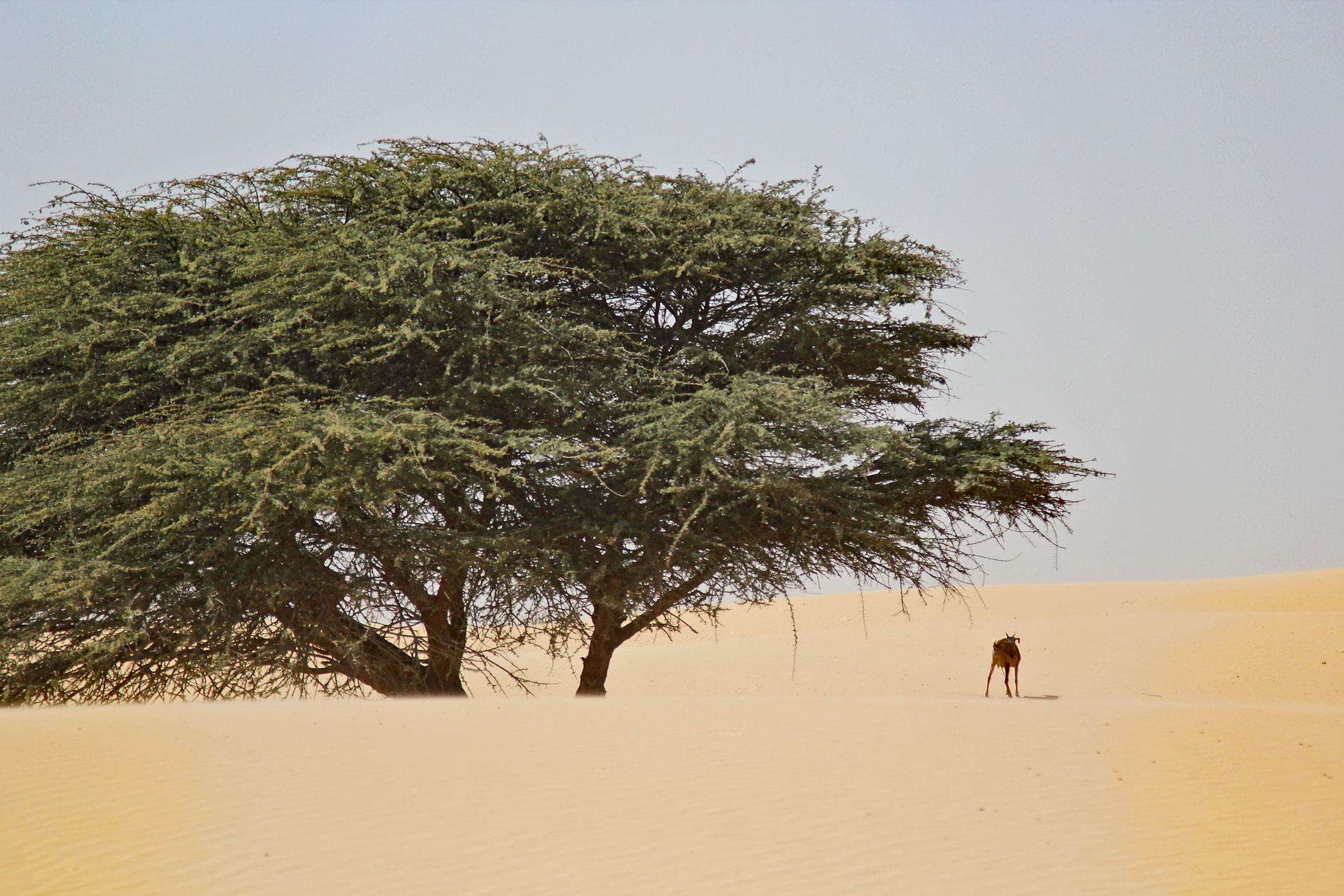 Mauretania.Pustynny piasek,drzewo i koza.