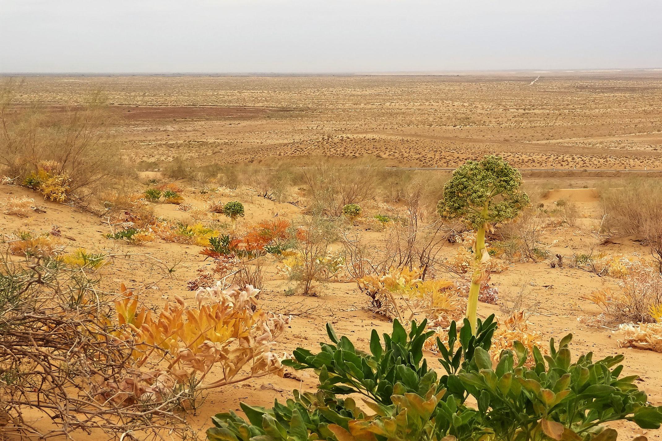 pustynia Kyzył-Kum