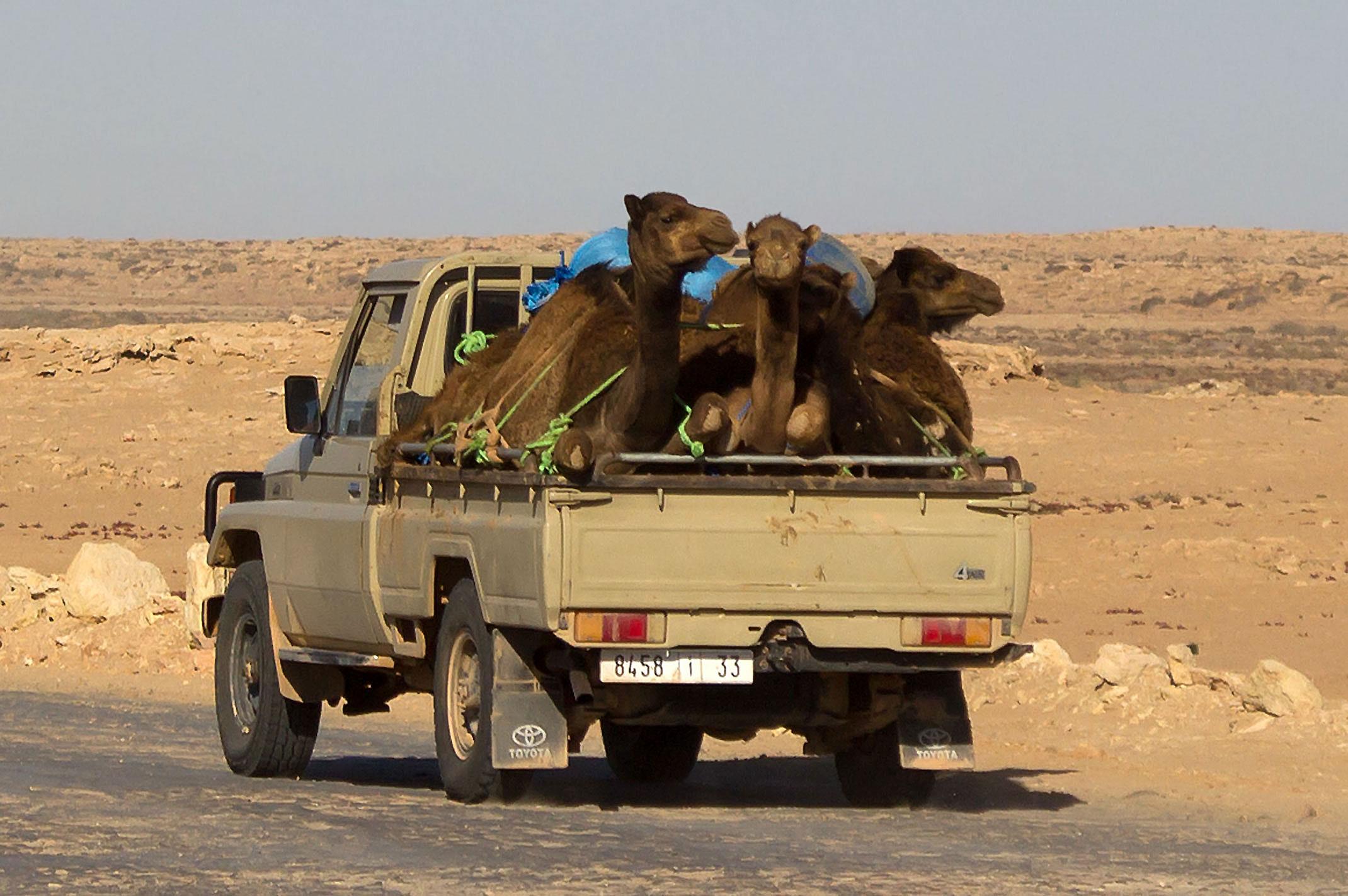 Maroko,Sahara Zachodnia.Transport wielbłądów.