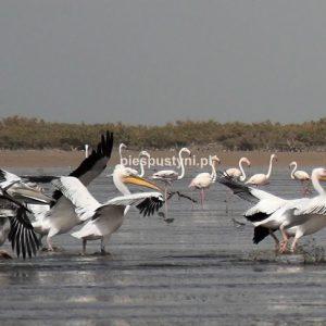 Pelikany i flamingi - Blog podróżniczy - PIES PUSTYNI