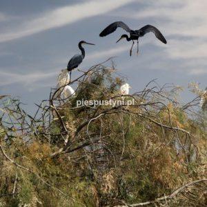 Ptaki - Blog podróżniczy - PIES PUSTYNI