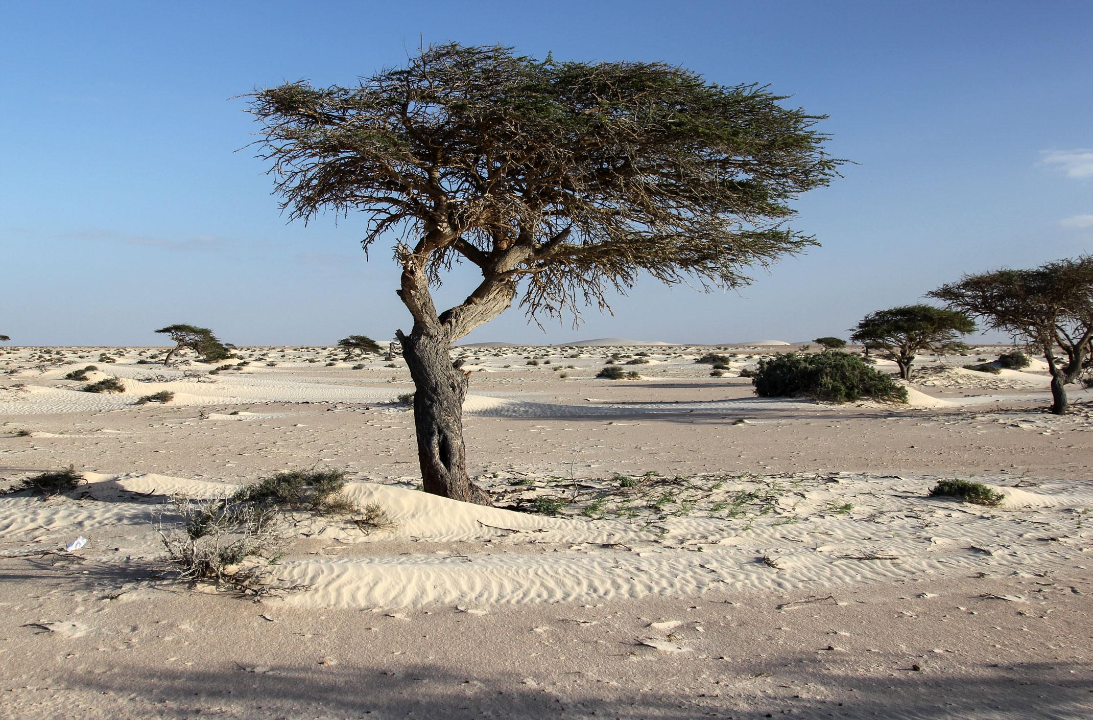 akacja pustynna