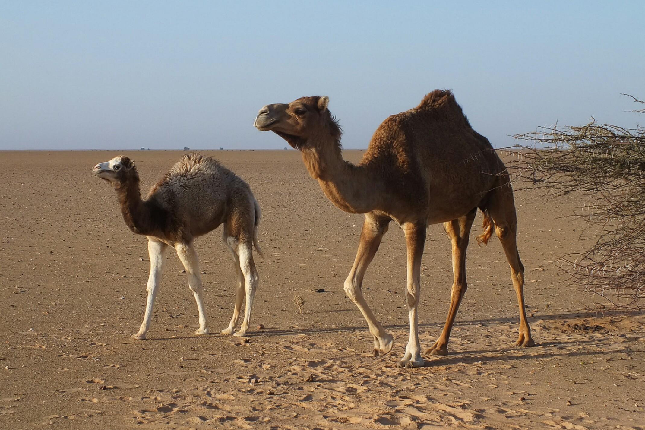 Sahara Zachodnia.Wielbłądy na pustyni.