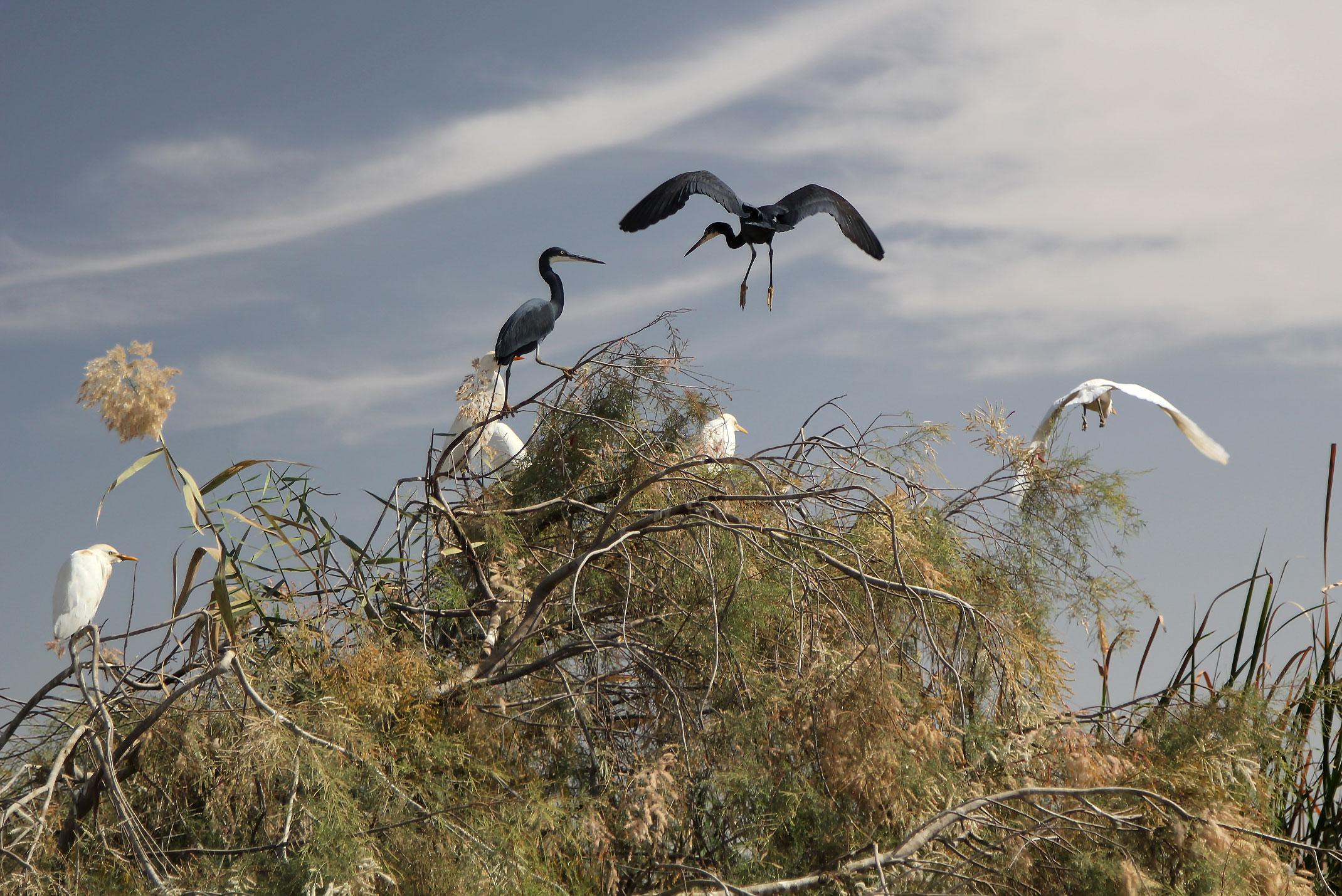 Mauretania.Prac National du Diawling Park Narodowy Diawling położony jest wokół delty rzeki Senegal.