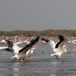 Mauretania.Pelikany