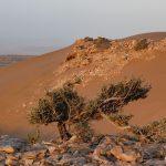 Sahara Zachodnia.Akacja pustynna na klifie