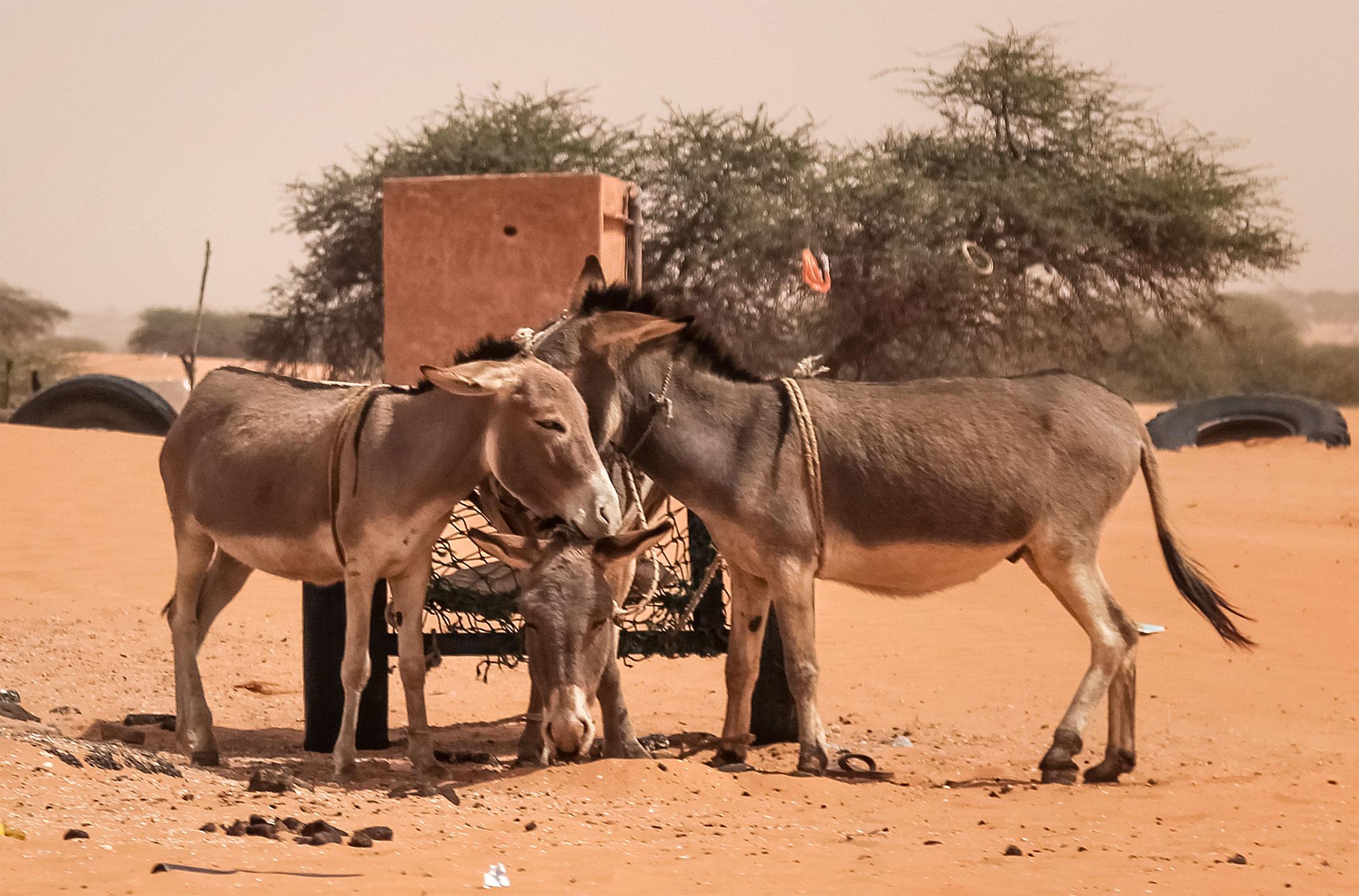 Maurertania