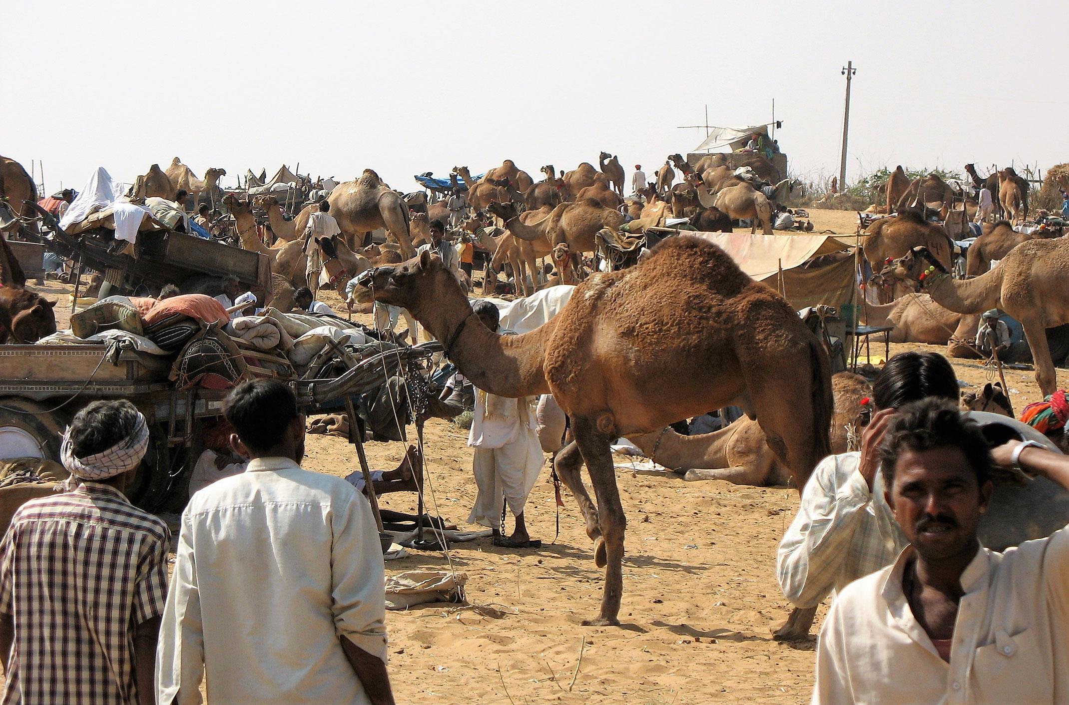 Camel Fair czyli targ wielbłądów na pustyni Thar w Indiach
