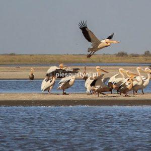Pelikany - Blog podróżniczy - PIES PUSTYNI