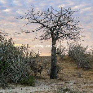 Baobab na tle kolorowego nieba - Blog podróżniczy - PIES PUSTYNI