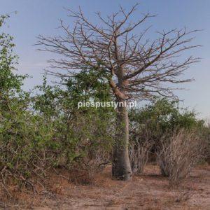 Baobab - Blog podróżniczy - PIES PUSTYNI