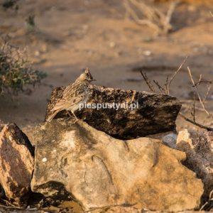 Ptaki  Haoui en Naam - Blog podróżniczy - PIES PUSTYNI