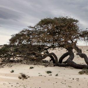 Pustynna akacja - Blog podróżniczy - PIES PUSTYNI