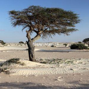 Akacja pustynna - Blog podróżniczy - PIES PUSTYNI