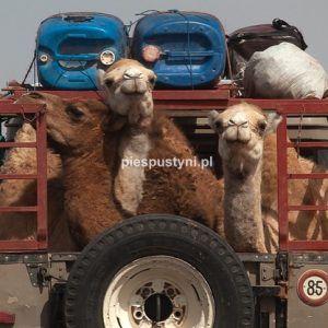 Podróż Land Roverem - Blog podróżniczy - PIES PUSTYNI