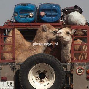 Wielbłądy podróżują - Blog podróżniczy - PIES PUSTYNI