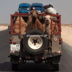 Wielbłądy przemierzają  Saharę - Blog podróżniczy - PIES PUSTYNI