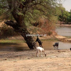 Kozy z Tamorte Bukari - Blog podróżniczy - PIES PUSTYNI
