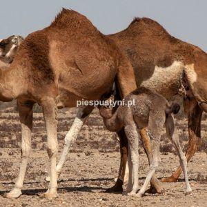 Rodzina wielbłądów - Blog podróżniczy - PIES PUSTYNI