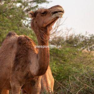 Wielbłąd na portrecie 1 - Blog podróżniczy - PIES PUSTYNI