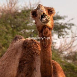 Wielbłąd na portrecie 2 - Blog podróżniczy - PIES PUSTYNI